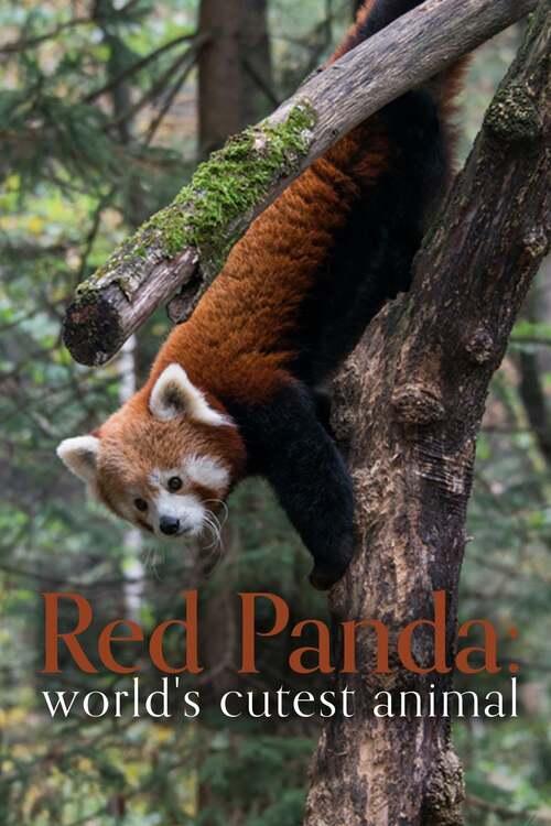 Red Panda: World's Cutest Animal